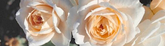 Bombproof Roses for The Modern Gardener